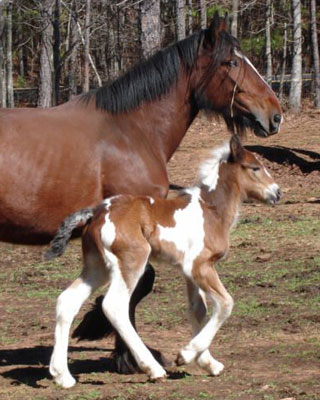 Drum filly