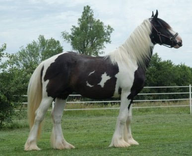 Gypsy Cob And Drum Horse Association Drum Horse Gypsy