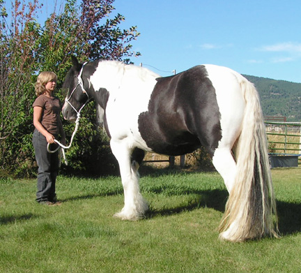 Gypsy vanner foals
