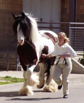 Gypsy Cob And Drum Horse Association Drum Horse Gypsy