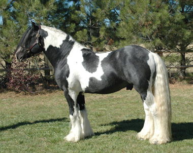 Conformation shot of Taliesin our Gypsy Vanner stallion