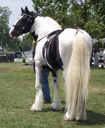 Photos curtesy of black forest gypsy horses