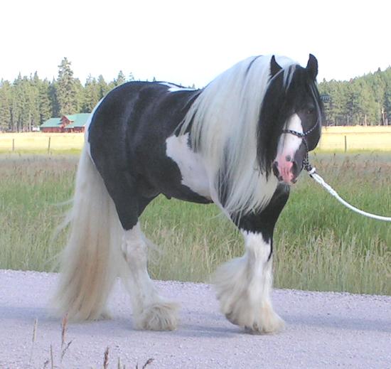 Gypsy Vanner Horses for Mystery ranch 7-11%20Tali%20right%20walk%202